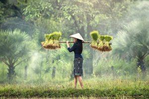 risaie vietnam quando andare (1)