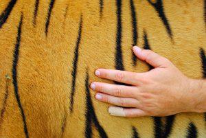 accarezzare Tigri in Italia (6)-min