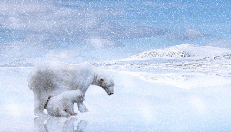 dove vedere gli orsi polari foto copertina