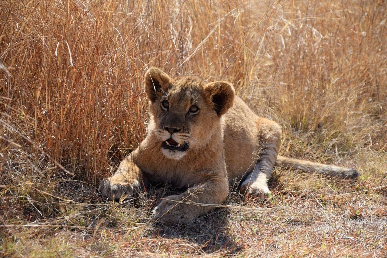 accarezzare-cuccioli-di-leone