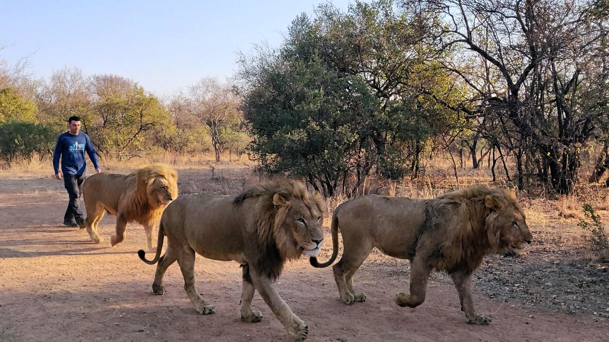 passeggiare con i leoni(2)